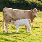 lait, industrie laitière, mauvais pour la santé, vache laitière, favorise les maladies, produits laitiers